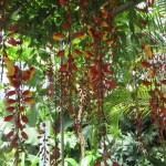 垂れ下がるマイソルヤハズカズラの花の様子