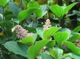 サンゴノボタン 花のつぼみ