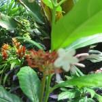 つぼみから咲き始めたインドジャボク