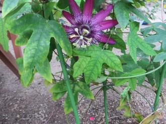 Passiflora cv. Lilac lady