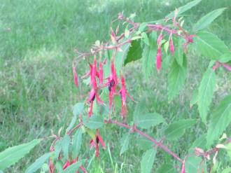 Hummingbird fuchsia/フクシア マジェラニカ