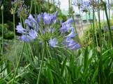 アガパンサス 花の様子