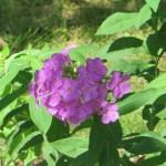 Garden phlox/ クサキョウチクトウ