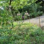 コマツナギ(ピンク花) 植物の姿