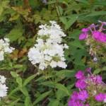ピンクと白いオイランソウ(草夾竹桃)の花