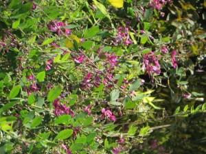 水辺のハギ(ヤマハギ?) 花の様子