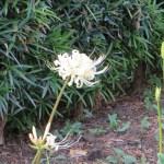 白花のヒガンバナ 咲き始め