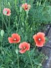 ナガミヒナゲシ 花の様子
