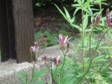 タイワンホトトギスの花 横から