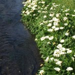 水辺に咲くカラー