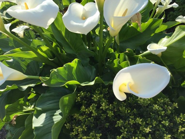 Calla lily/オランダカイウ