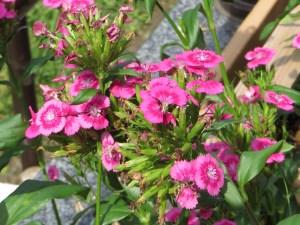 ダイアンサス/ナデシコ 花のアップ