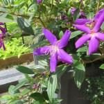 赤紫のクレマチスの花