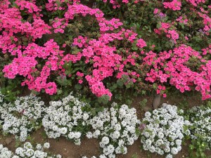 サクラソウ(ピンク色)の花壇