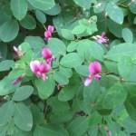 ハギ(ヤマハギ?)の花の様子