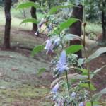 ツリガネニンジン 植物の姿