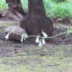 ツリガネニンジン 花の姿