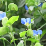 Asiatic dayflower/ ツユクサ