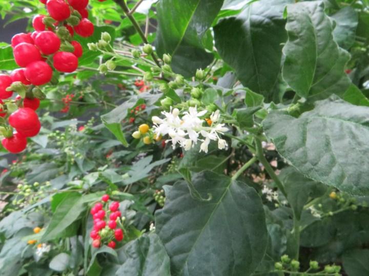 ジュズサンゴの花と実