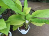 ウコン 植物の姿