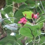 枝先に咲くテイキンザクラ