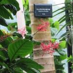 ベニツツバナ 花の姿