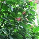 ベニツツバナ 花と草の様子