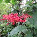 ベニツツバナ 花のアップ