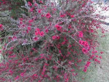 赤花のギョリュウバイ