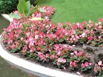 ベゴニアの花壇