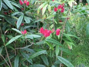 パボニア・グレドヒリィ 植物の様子