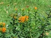 ヤナギトウワタ 花の姿