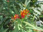 Butterfly milkweed/ヤナギトウワタ