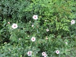 ヤノネボンテンカの花の様子