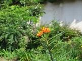 アゲハチョウがとまるヤナギトウワタ