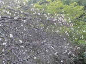 コブクザクラの咲いている様子