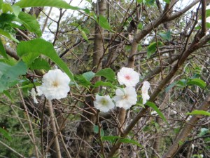 コブクザクラの花と葉