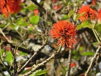 Red hot poker tree/ エリスリナ・アビシニカ