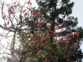エリスリナ・アビシニカの花がついている様子