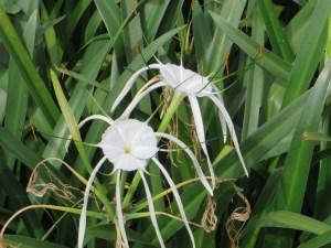 Spider lily/ スパイダーリリー