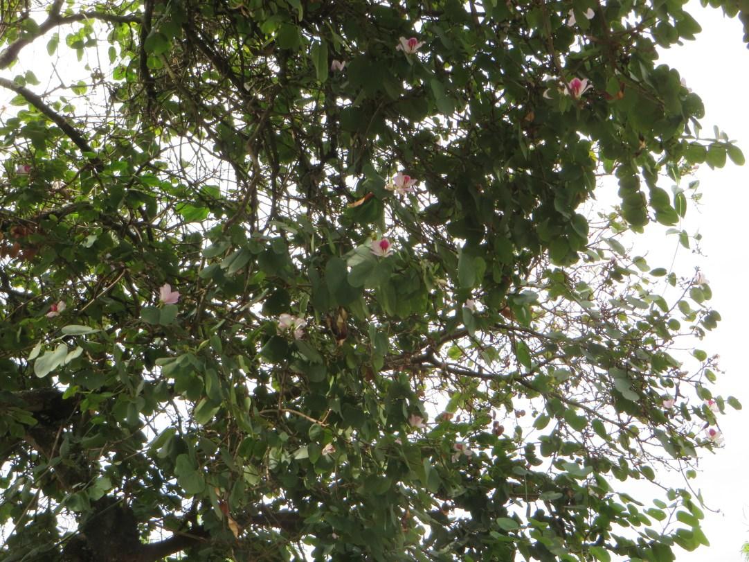 ピンクオーキッドツリーの姿