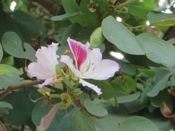 ピンクオーキッドツリーの花