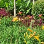 ヘメロカリスの花々