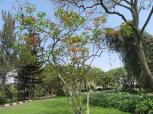 ポインセチアの木