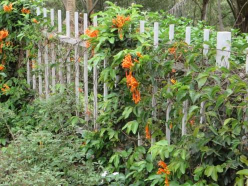 垣根に蔓を伸ばし花を咲かせるカエンカズラ