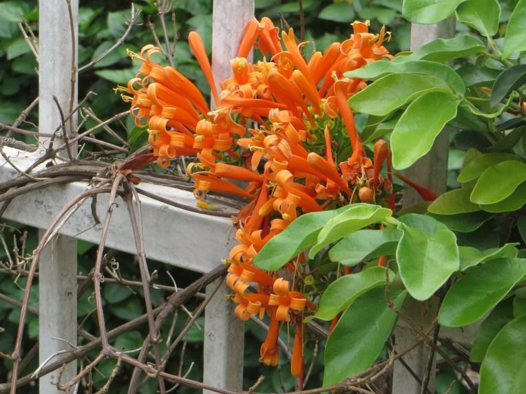 Orange trumpet creeper/ カエンカズラ