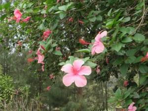 薄いピンク色のハイビスカス