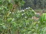 ソラヌム・マクランツム・オオホシジャガイモノキの木の様子