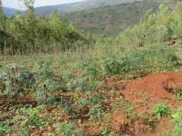 斜面のキャッサバ畑の様子