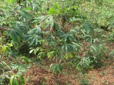 Cassava/ キャッサバ